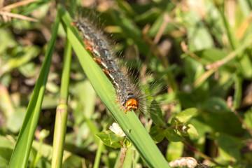 Slug caterpillars eating leaves