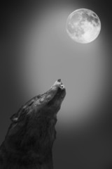 Wolf howls to the moon