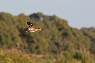 alzavola (Anas crecca) in volo