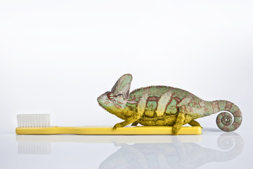 Chameleon on the yellow plastic toothbrush with white background
