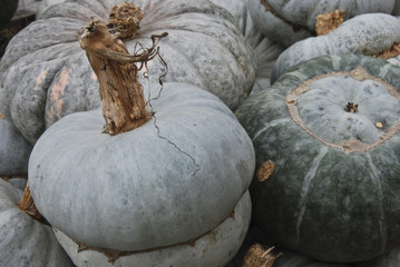 Green pumpkins harvest