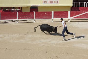 Raseteur et taureau lors d'une course camarguaise