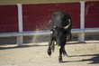 Taureau de course camarguaise - 72010763