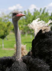 A male ostrich waves a wing