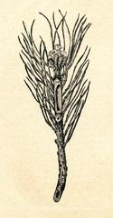Pine shoot, damaged by pine shoot beetle