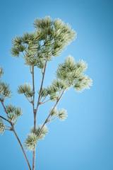 spruce branch on a blue background