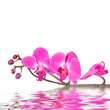 canvas print picture - Orchid flowers isolated with reflections in wavy water surface
