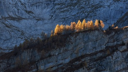 Golden larchs in autumn, steep cliffs