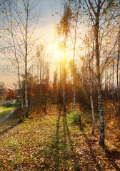 Birches and autumn
