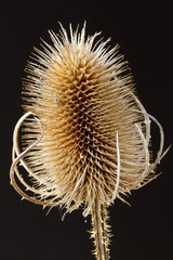 Close up teasel on a black background