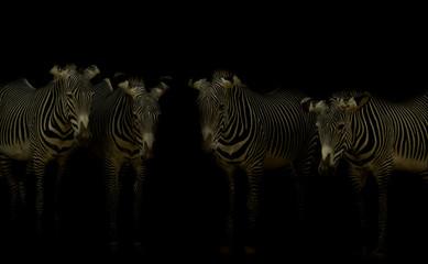 Cebras grevy en la oscuridad