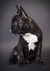Portrait sitting french bulldog