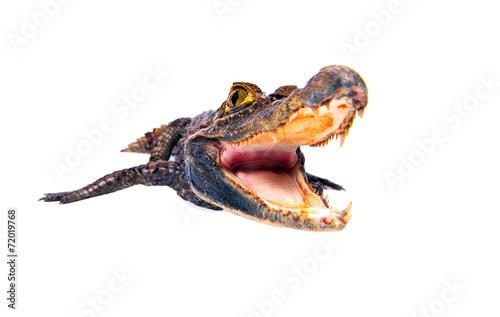 Foto op Plexiglas Krokodil Cayman crocodile