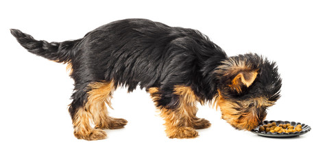 Yorkshire terrier standing and eating