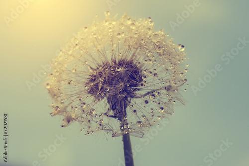Wet dandelion - 72021581
