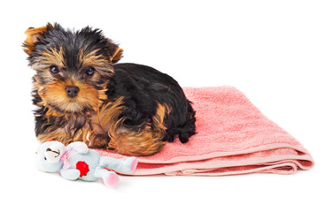 Yorkshire Terrier puppy on pink carpet