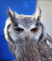Close up of a Scops Owl