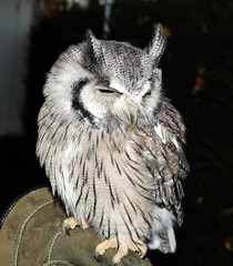 Close up of a Scops Owl