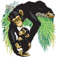 chimpanzee holding baby chimp