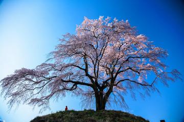 朝光のしだれ桜