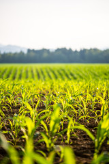 Field of young maize plants