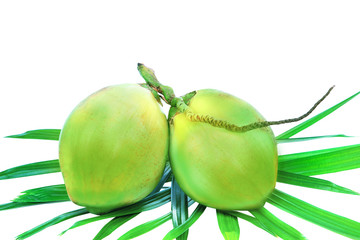 green coconuts on green palm leaves isolated white