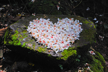 Patchwork of Fordii (Tung) tree flower (Heart shape)