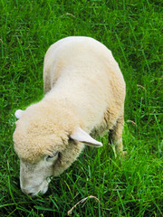Sheep is eating grass