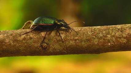 Beetle attacked by inch worm