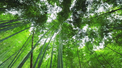 Bamboo forest in Japan. Rotating shot.