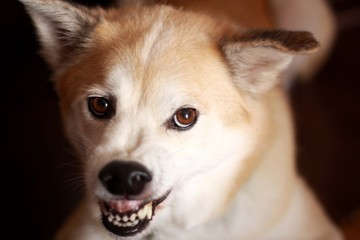 歯を剥いて怒っている犬