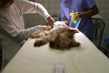 Dog in anesthesia on operating table