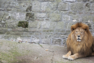 Large, Powerful Male Lion Sits on a Tall Boulder