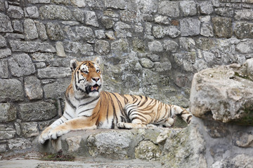 Siberian Tiger in his Territory