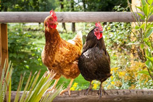 Tuinposter Kip Glückliche Hühner