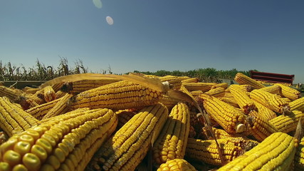 Harvest of Maize