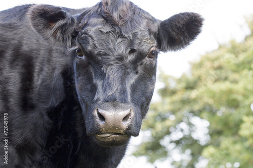 Fotobehang Koe Cow, close up profile of an Aberdeen Angus cow