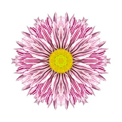 Purple Stripes on Concentric Chrysanthemum Mandala Flower