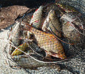 River fish in a fishnet