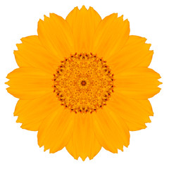 Yellow Concentric Singapore Daisy Flower Isolated on White.