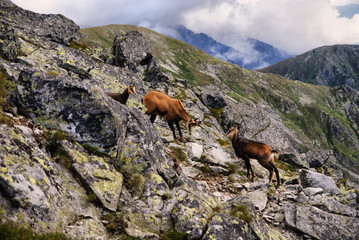 Three mountain goats in the Tatra Mountains