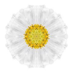 White Concentric Daisy Mandala Flower Isolated
