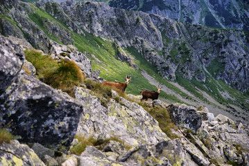 Beautiful surroundings Świnica and wild mountain goats