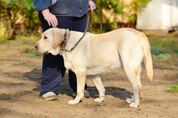 Labrador retriver in park with owner