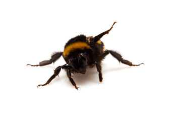 threatening bumble-bee