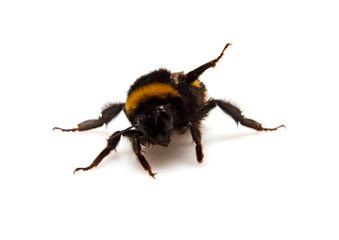 threatening bumble-bee