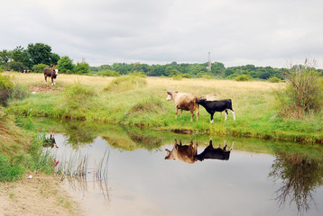 Cows grazing. Water reflection.