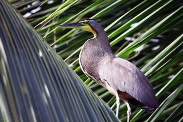 Great blue Heron on the palm among the leaves