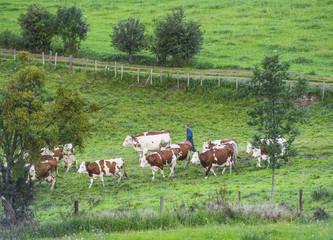 rural vache