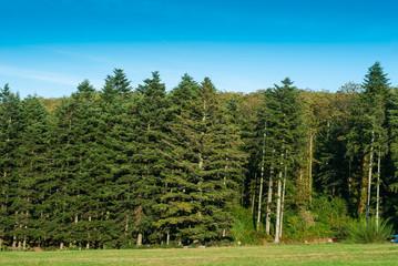 Paesaggio di bosco, foresta abeti, natura, alberi